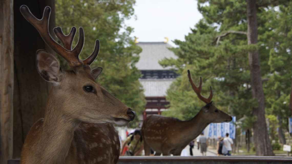 Nara – 奈良市 – Deers and temples